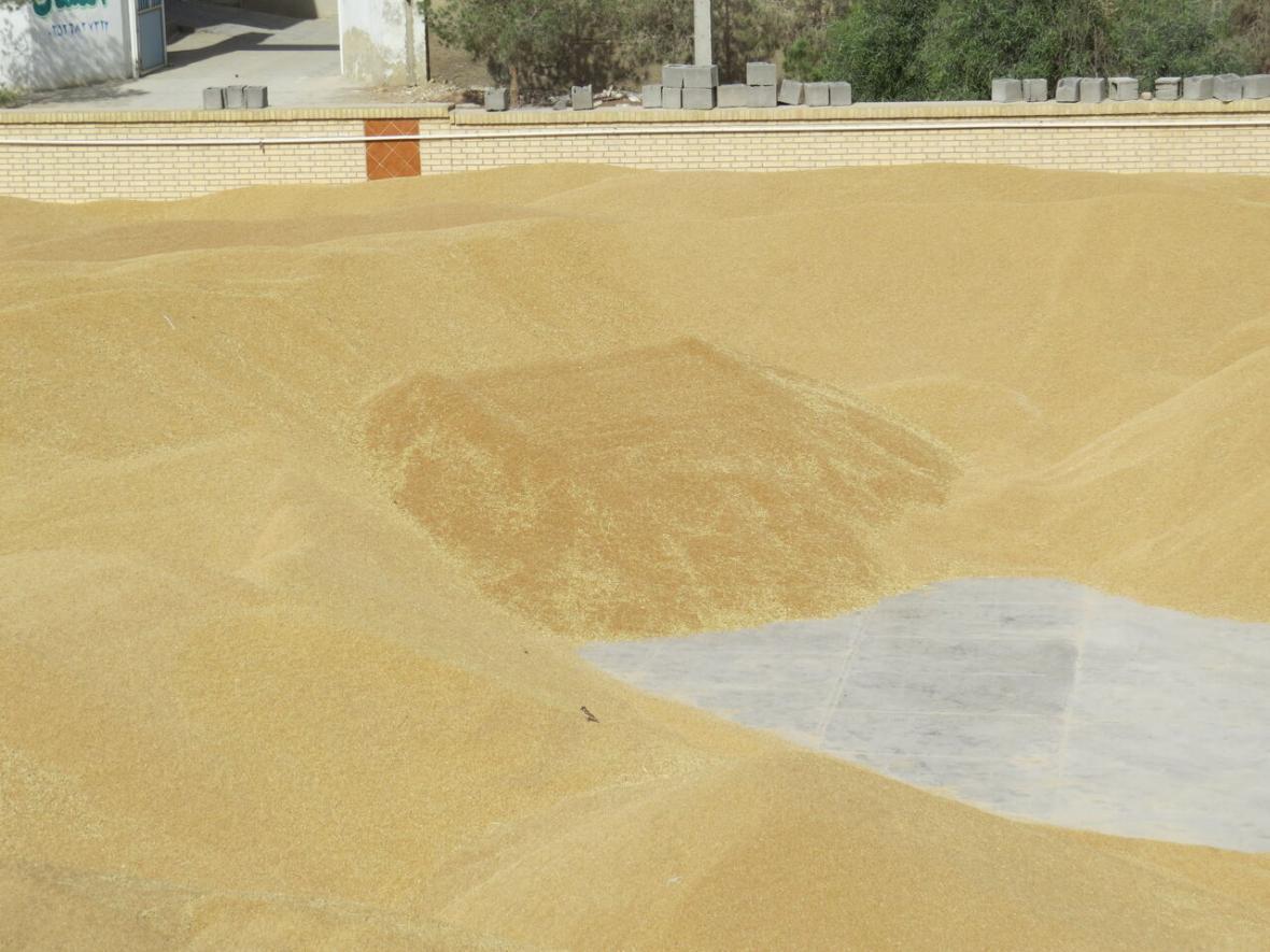 خبرنگاران 42 هزار تن گندم از کشاورزان شهرستان ری خریداری شد
