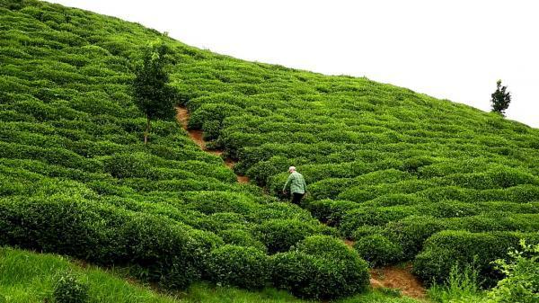 تولید جدید شبکه العالم؛ معرفی چای ایرانی به جهانیان