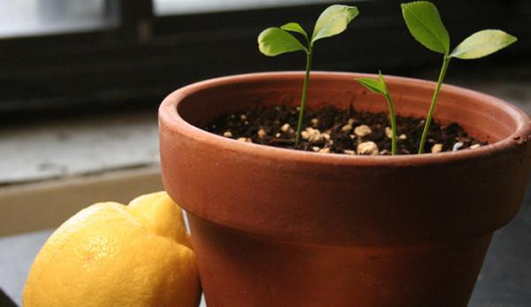راهنمای کاشت هسته مرکبات در گلدان و باغچه